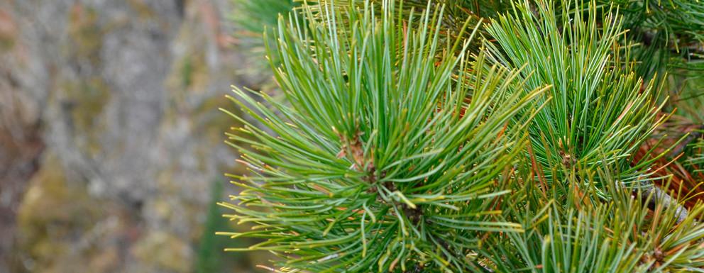 Der Obergurgler Zirbenwald: Natur, die Wirkung zeigt